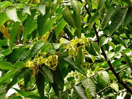 piante tropicali a fiori profumati cananga odorata