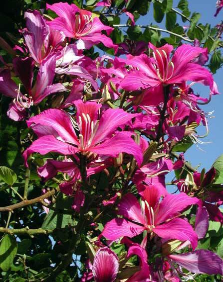 Piante tropicali a fiori profumati bauhinia blakeana for Vendita piante esotiche