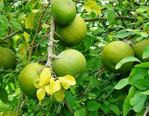 Piante da frutto tropicali e subtropicali aegle marmelos for Vendita piante esotiche