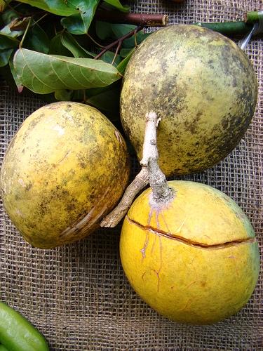 piante da frutto tropicali e subtropicali aegle marmelos