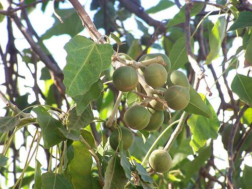 Piante da frutto tropicali e subtropicali aleurites moluccana for Vendita piante da frutto tropicali