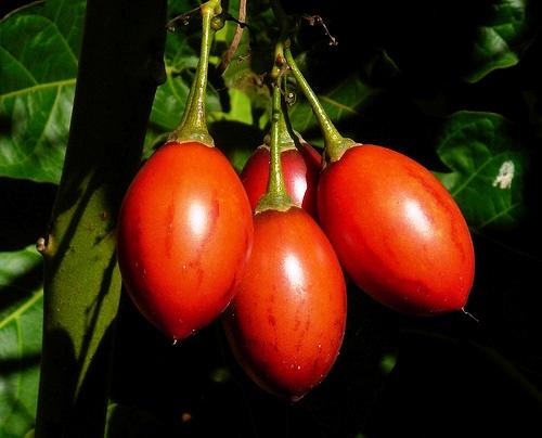 piante da frutto tropicali e subtropicali cyphomandra betacea