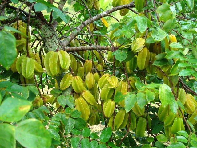 Piante da frutto tropicali e subtropicali averrhoa carambola for Alberi frutta vendita