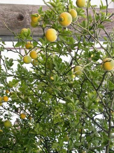 Piante da frutto tropicali e subtropicali dovyalis caffra for Vendita piante da frutto tropicali