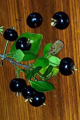 Piante da frutto tropicali e subtropicali eugenia for Vendita piante da frutto tropicali