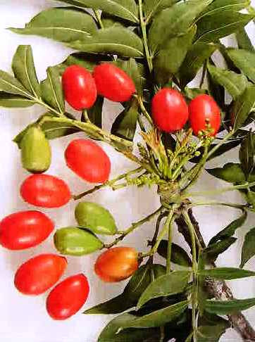 Piante da frutto tropicali e subtropicali harpephyllum for Vendita piante da frutto tropicali