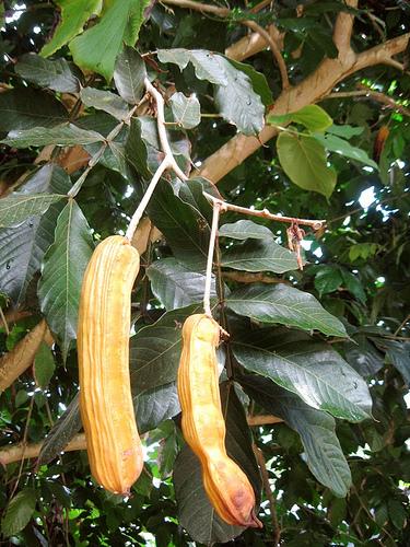 Piante da frutto tropicali e subtropicali inga edulis for Vendita piante da frutto tropicali