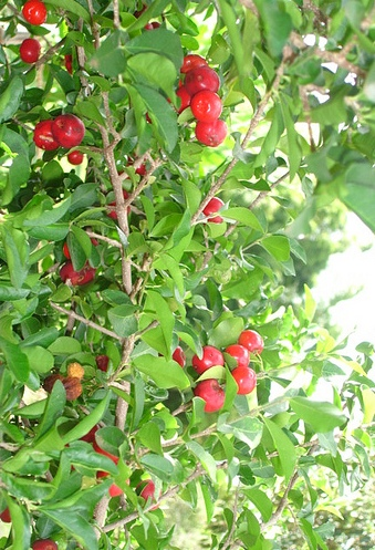 Piante da frutto tropicali e subtropicali malpighia glabra for Vendita piante da frutto tropicali