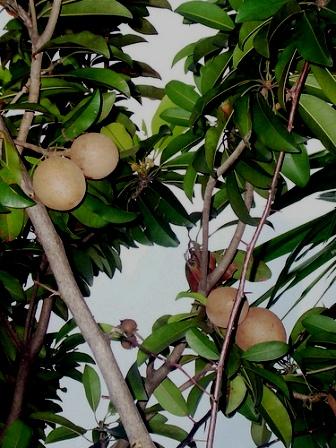 Piante da frutto tropicali e subtropicali manilkara zapota for Vendita piante da frutto tropicali