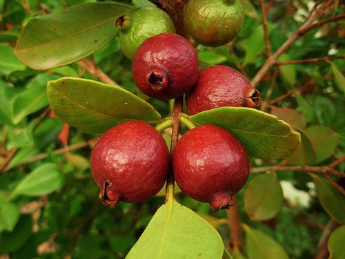 Piante da frutto tropicali e subtropicali psidium for Vendita piante da frutto tropicali
