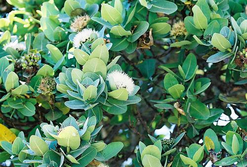 Piante da frutto tropicali e subtropicali syzygium cordatum for Vendita piante da frutto tropicali
