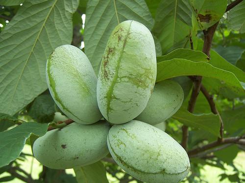 piante da frutto tropicali e subtropicali asimina triloba