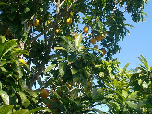 Piante da frutto tropicali e subtropicali pouteria for Vendita piante da frutto tropicali