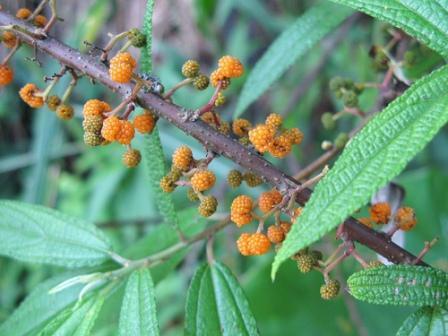 Piante da frutto tropicali e subtropicali debregeasia edulis for Vendita piante da frutto tropicali