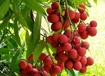 Piante da frutto e ornamentali tropicali e subtropicali for Alberi frutta vendita