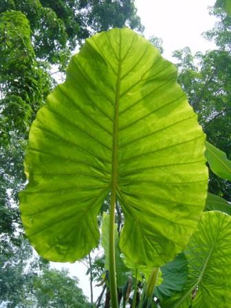 pianta tropicale foglie grandi