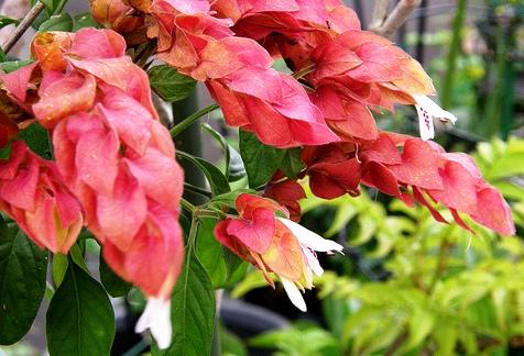 Piante esotiche ornamentali beloperone guttata for Vendita piante esotiche