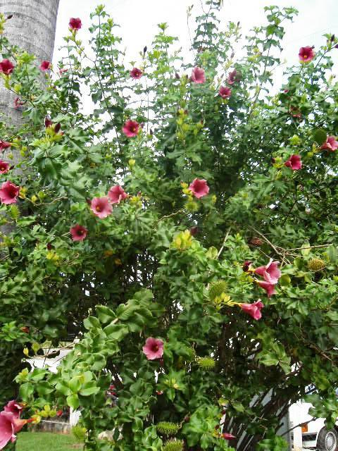 Piante esotiche ornamentali allamanda violacea for Vendita piante esotiche