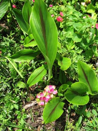 Piante esotiche ornamentali curcuma zedoaria for Vendita piante esotiche