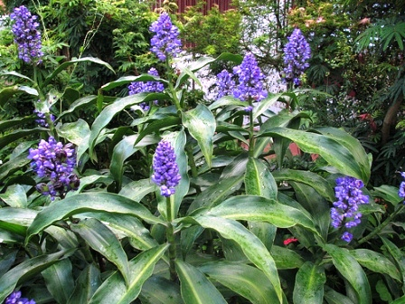 Piante esotiche ornamentali dichorisandra thyrsiflora for Vendita piante esotiche
