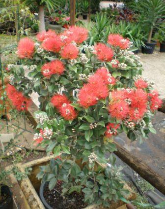Piante esotiche ornamentali metrosideros thomasii for Vendita piante esotiche