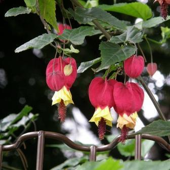 Piante esotiche ornamentali abutilon megapotanicum for Vendita piante esotiche