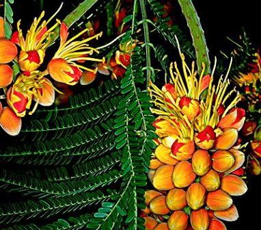 Piante esotiche ornamentali colvillea racemosa for Vendita piante esotiche
