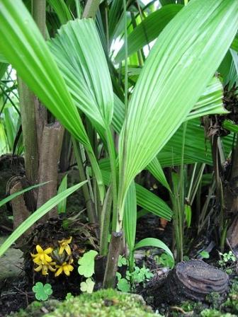 Piante esotiche ornamentali curculigo capitulata for Vendita piante esotiche