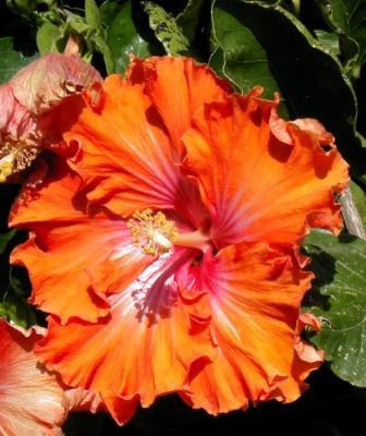 Piante esotiche ornamentali hibiscus rosa sinensis in for Vendita piante esotiche