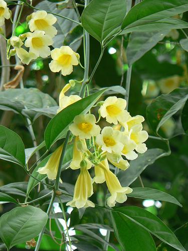 Piante rampicanti esotiche anemopaegma chamberlaynii for Vendita piante esotiche