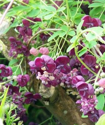 Piante rampicanti esotiche akebia quinata for Piante rampicanti ornamentali