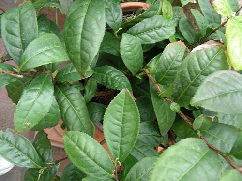 Piante tropicali aromatiche e da spezia camellia sinensis for Pianta camelia