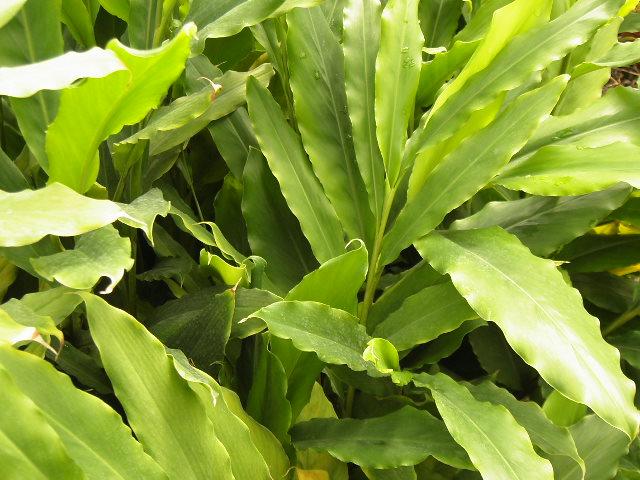 Piante tropicali aromatiche e da spezia alpinia nutans for Vendita piante esotiche