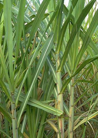 Piante tropicali aromatiche e da spezia saccharum officinarum for Vendita piante da frutto tropicali